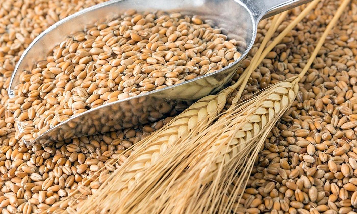 Giá lúa mì Nga giảm do bắt đầu vụ thu hoạch mới
